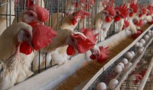 poultrybusiness